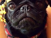 Pugs, Pugs and more Pugs! My obsession with these adorable little creatures!