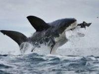 Los selacimorfos son un superorden de condrictios (peces cartilaginosos) conocidos como tiburones, o escualos.  Los tiburones incluyen desde especies pequeñas de las profundidades marinas, hasta el tiburón ballena, el mayor de los peces, el cual se cree puede llegar a medir una longitud de 18 m y se alimenta únicamente de plancton. Las especies responsables de la mayoría de los ataques no provocados a humanos son el tiburón blanco, el tiburón tigre y el tiburón sarda.