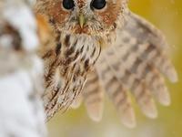 owl fever