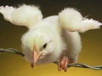 Chickens, i love them / Kippen, ik hou van ze