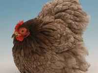 Fascinations: Roosters & Hens