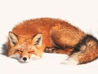Be kind to fox(es) - never wear fur! :)