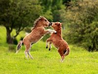 Ponies on Pinterest | Fjord Horse, Shetland Ponies and Mini Pony