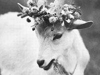 I Dote over Goats!