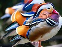 Birds-Water Birds