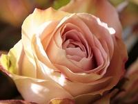 I Love Roses - Passionately