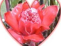 valentine thornless rose