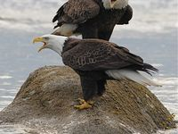 alaska birds of prey