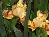 Garden: Iris Inspiration