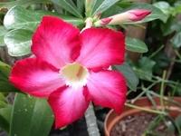 Flowers - Adenium