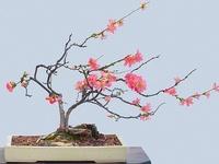Gardening - Bonsai