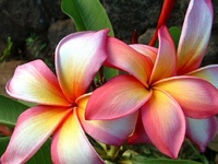 Flowers - Plumeria