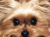 One of my husbands co-workers mother passed away. She was unable to keep and care for her mom's yorkie. This is how we ended up the proud parents of Sofie. A 5 lb, 3 year old, silky terrier. She is the sweetest, most beautiful dog that I have ever known.
