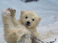 Animals Polarbear / IJsbeer