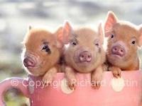 These little Piggies.............