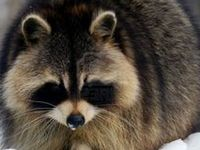 91 best nature raccoons images on pinterest raccoons racoon and wild animals. Black Bedroom Furniture Sets. Home Design Ideas