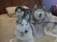 Life with Huskies!