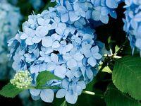 Flowers - Hydrangeas