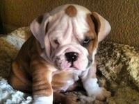 These Bulldog pictures are doggone cute. There's not much more needing to be said about them except Bow-WOW!