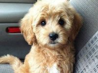 ... about Puppies!! on Pinterest | Spaniels, Labradoodles and Puppys