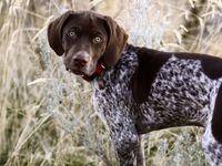 ... German Shorthaired Pointer, Hunting Dogs and English Springer Spaniels