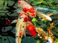 Koi fish and the creatively beautiful ponds they live in. Some outdoor pond ideas!