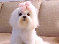 Maltese Puppies <3