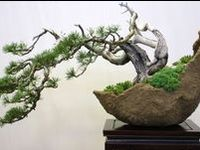 Bonsai (盆栽?, lit. plantings in tray, from bon, a tray or low-sided pot and sai, a planting or plantings) is a Japanese art form using miniature trees grown in containers.  [Wikipedia]