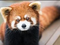 Photography and art of red pandas. So cute!