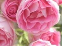 ♥ Rose Garden