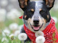 Australian Cattle Dogs ~ Rule My World♥♥♥