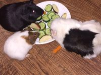 My Guinea Pigs❤️ / Cooper: I think I'm in charge of everything and everyone! Including Ma! Silas: I'm a sweet, shy, and the one actually in charge(under Ma)!!!  Blake: ~no Bio available cause he's too busy causing trouble to write one!~ Langston: I'm the newbie as of 1/25/18!