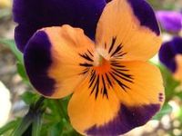 Pansy Flower, Viola, & Violets