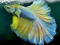 & Unique Pet Fish on Pinterest Betta, Betta Fish and Freshwater ...