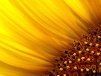 Sunflowers, my favorites!!!