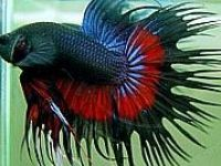 17 best images about betta tips on pinterest water for How long can a betta fish live