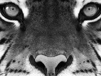 Wild and Beautiful Animals, Reptiles, Mammals, Birds, Tigers, Lions, Big Cats, Monkeys, Apes Wildlife, Amphibians