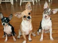 Love, love, love my Chihuahua babies!  Daphne, Dawson, Sophie, and 'lil Bandit too!