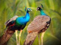 Peacocks. Peafowl. Pfau.