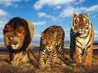 My love of all wild cats; lions, tigers, leopards, cheetahs, jaguars, pumas, lynx, caracals, servals, ocelots, black panthers..and more! All photos are either repinned from other boards or websites, I do not claim these to be mine. Thank You for following me :-)