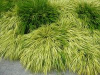 Ornamental grasses are found throughout the world and are often used in gardening and landscaping projects as ornamental accouterments. Species of ornamental grass range in size from 6 inches to 15 feet and have myriad landscaping applications. Types of grass species, species habitat, culture, use and common maintenance practices such as dividing are all important information for ornamental grass growers.
