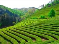 Paysages du thé