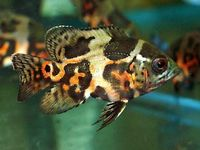 Fish (freshwater)