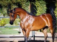 Arabian Horses خيول عربية