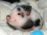 1000 images about baconseed my imaginary pet pig on pinterest baby