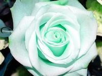 roses / Beautiful rares, and different  kind of roses.
