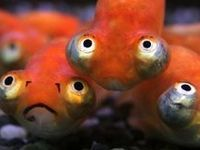 1000 images about fish school on pinterest pink fish for Poisson rouge gros yeux