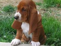 Love Basset Hounds. We are on our 4th, Annie, she was born on the 4th of July. Yes she is a lil firecracker!!!