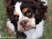 17 best images about american cocker spaniel on pinterest - Free cocker spaniel screensavers ...