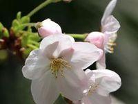 桜 (Kyoto, Japan)